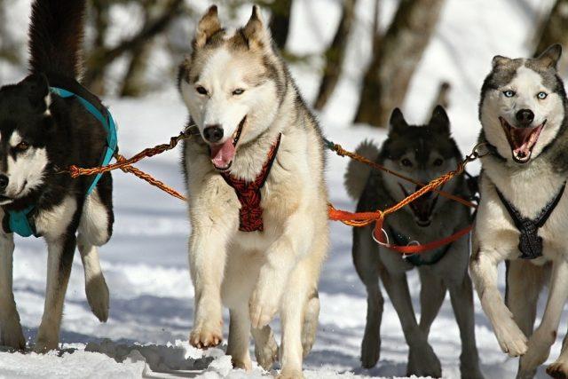 spřežení, psi, mushing, husky