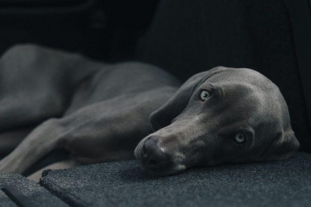 Pes (ilustr. foto)