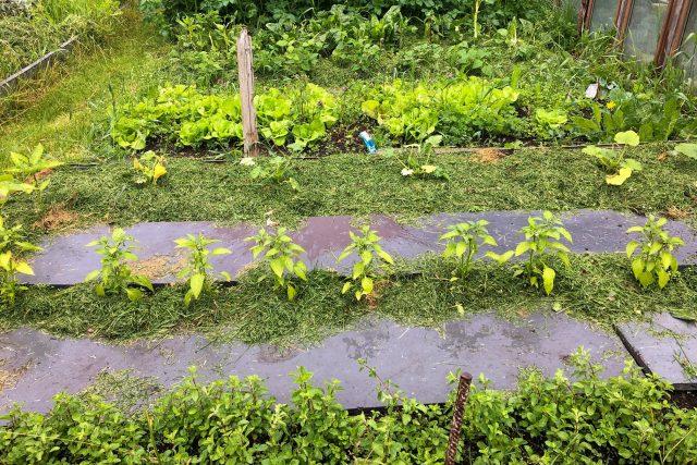 Mulčování je metoda nastýlání posekané trávy hlavně na záhony se zeleninou